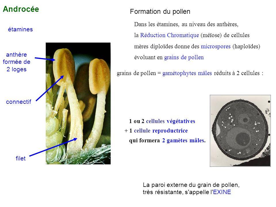 étamines anthère formée de 2 loges connectif filet Androcée Dans les étamines, au niveau des anthères, la Réduction Chromatique (méïose) de cellules m