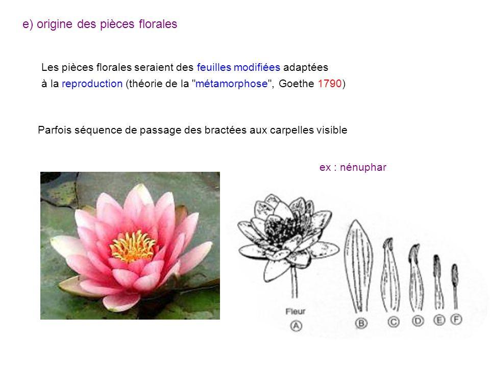 e) origine des pièces florales Les pièces florales seraient des feuilles modifiées adaptées à la reproduction (théorie de la