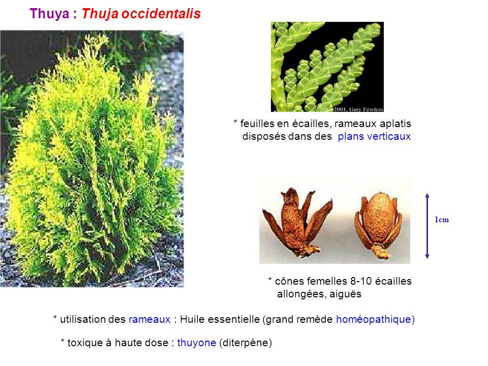 Thuya : Thuja occidentalis * feuilles en écailles, rameaux aplatis disposés dans des plans verticaux * cônes femelles 8-10 écailles allongées, aiguës