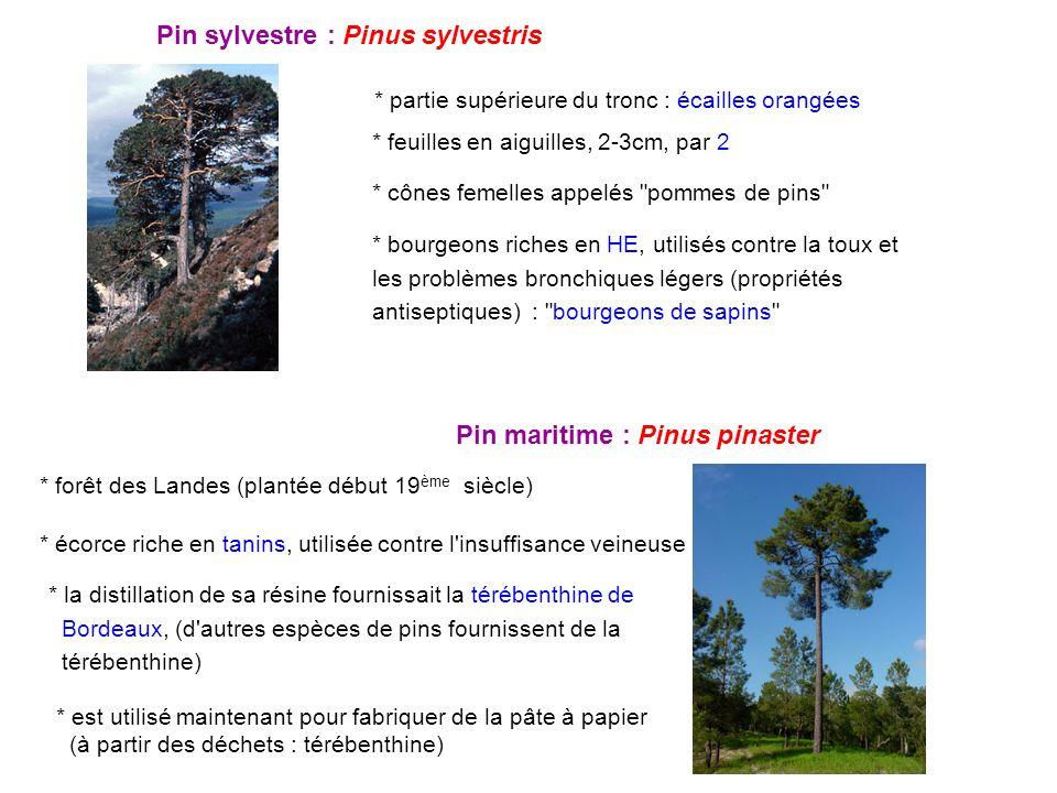 Pin sylvestre : Pinus sylvestris * feuilles en aiguilles, 2-3cm, par 2 * cônes femelles appelés