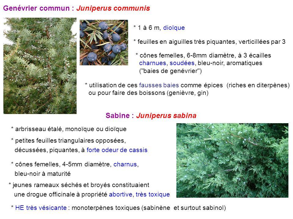 Genévrier commun : Juniperus communis * 1 à 6 m, dioïque * feuilles en aiguilles très piquantes, verticillées par 3 * cônes femelles, 6-8mm diamètre,