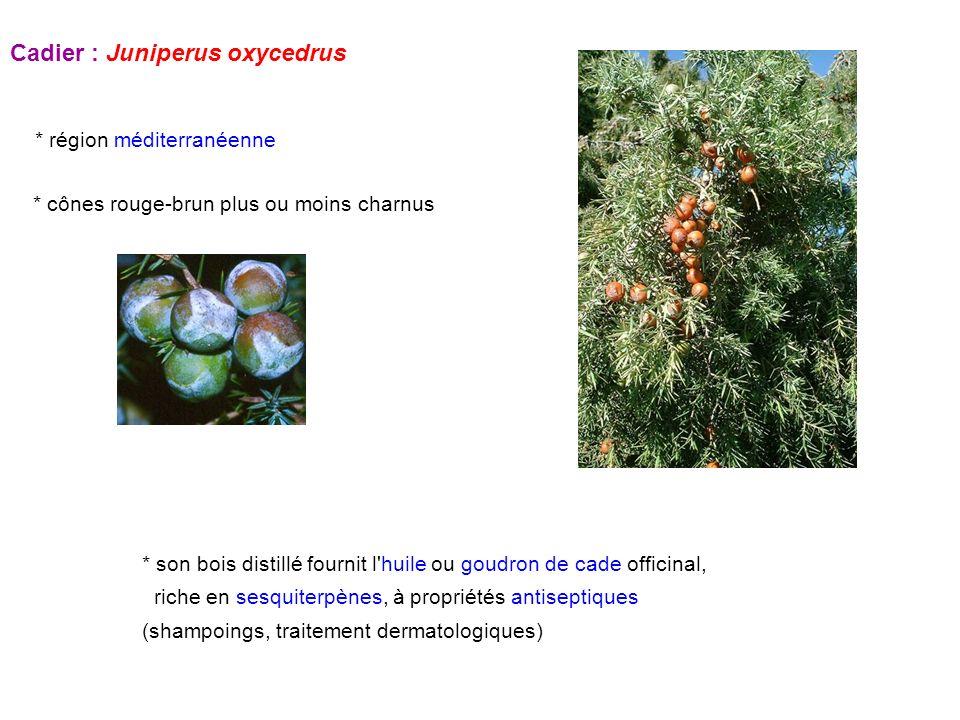 Cadier : Juniperus oxycedrus * région méditerranéenne * son bois distillé fournit l'huile ou goudron de cade officinal, riche en sesquiterpènes, à pro