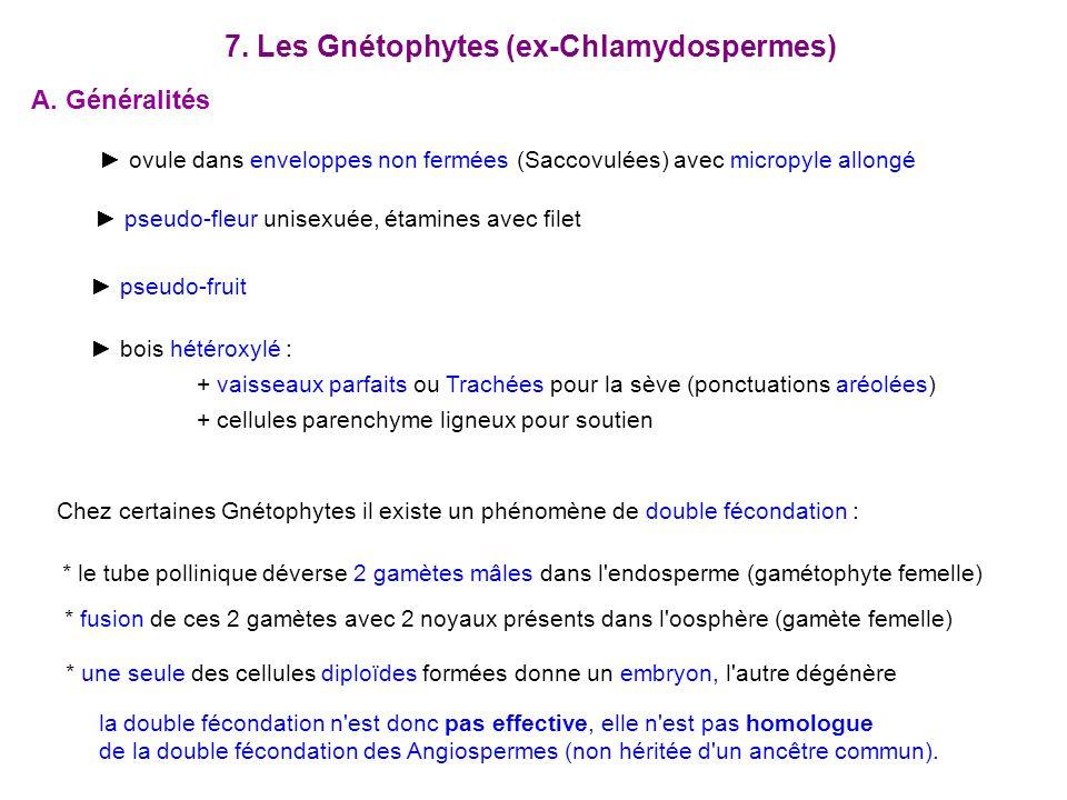 7. Les Gnétophytes (ex-Chlamydospermes) A. Généralités ovule dans enveloppes non fermées (Saccovulées) avec micropyle allongé pseudo-fruit pseudo-fleu