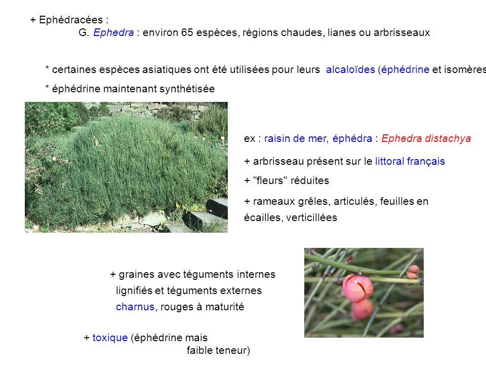 + Ephédracées : G. Ephedra : environ 65 espèces, régions chaudes, lianes ou arbrisseaux * certaines espèces asiatiques ont été utilisées pour leurs al