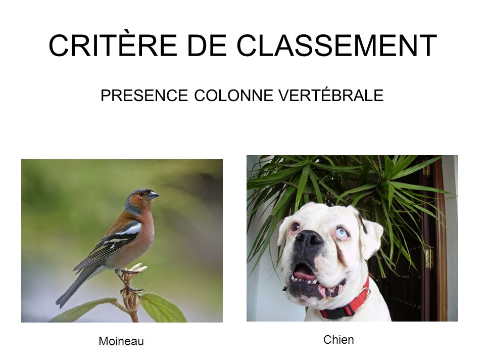 CRITÈRE DE CLASSEMENT PRESENCE COLONNE VERTÉBRALE Moineau Chien