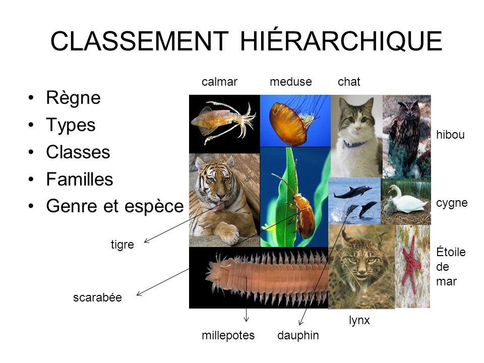 CLASSEMENT HIÉRARCHIQUE Règne Types Classes Familles Genre et espèce lynx scarabée millepotesdauphin tigre calmarmedusechat hibou cygne Étoile de mar