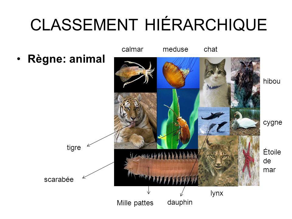 CLASSEMENT HIÉRARCHIQUE Règne: animal lynx scarabée Mille pattes dauphin tigre calmarmedusechat hibou cygne Étoile de mar