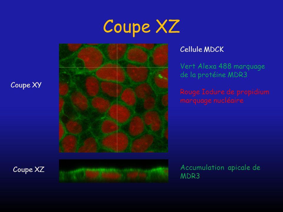Coupe XZ Coupe XY Coupe XZ Cellule MDCK Vert Alexa 488 marquage de la protéine MDR3 Rouge Iodure de propidium marquage nucléaire Accumulation apicale