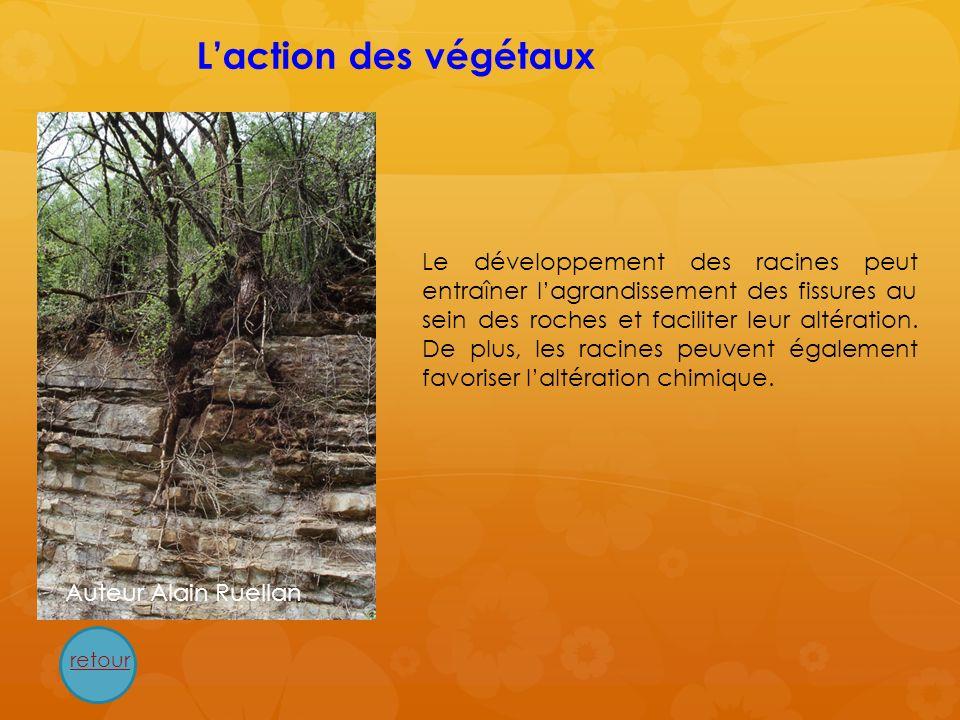 Le développement des racines peut entraîner lagrandissement des fissures au sein des roches et faciliter leur altération. De plus, les racines peuvent