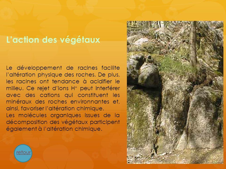 Laction des végétaux Le développement de racines facilite laltération physique des roches. De plus, les racines ont tendance à acidifier le milieu. Ce