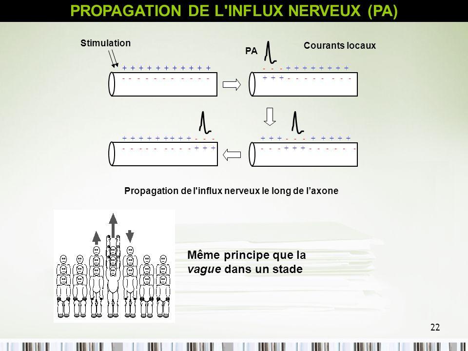 22 Propagation de l'influx nerveux le long de laxone + + + + + + + + + + + - - - - - - - - - - - - - - + + + + + + + + + + + - - - - - - - - + + + - -