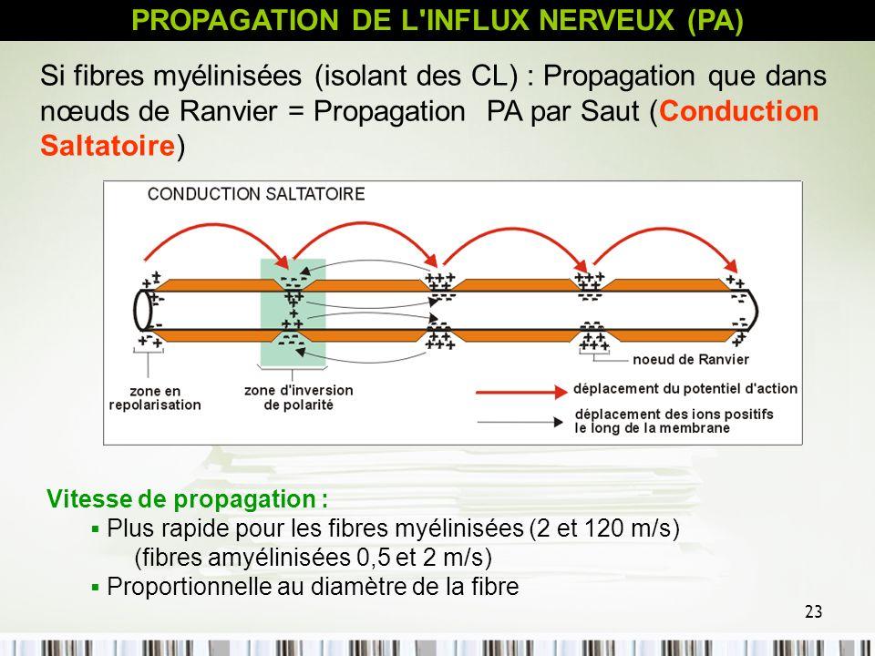23 Si fibres myélinisées (isolant des CL) : Propagation que dans nœuds de Ranvier = Propagation PA par Saut (Conduction Saltatoire) Vitesse de propaga