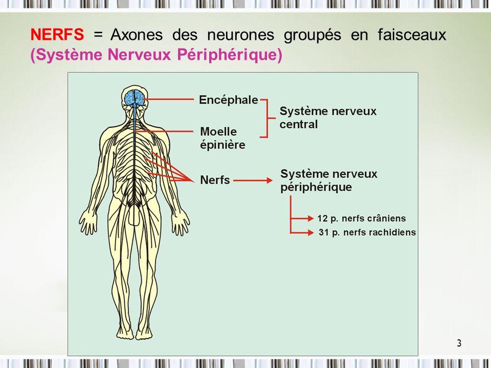 4 Structure du neurone (fonction spécifique) : STRUCTURE DU NEURONE Boutons synaptiques : Transmission des influx nerveux vers d autres neurones ou cellules effectrices Axone : Conduction de l influx du corps cellulaire vers les boutons terminaux (parfois entourés de myéline) Dendrites : Réception des signaux en provenance des organes des sens ou d axones d autres neurones Corps cellulaire : Synthèse protéique, Intégration des signaux captés par le neurone