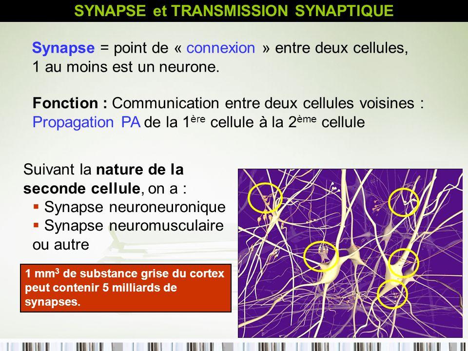 35 SYNAPSE et TRANSMISSION SYNAPTIQUE Synapse = point de « connexion » entre deux cellules, 1 au moins est un neurone. Fonction : Communication entre