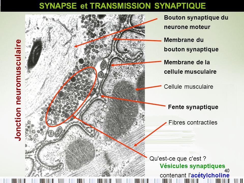 40 Bouton synaptique du neurone moteur Membrane du bouton synaptique Membrane de la cellule musculaire Cellule musculaire Vésicules synaptiques conten