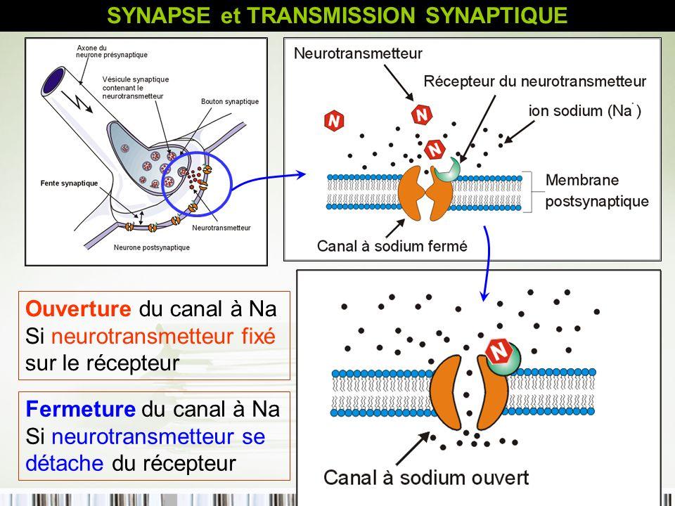 43 Ouverture du canal à Na Si neurotransmetteur fixé sur le récepteur Fermeture du canal à Na Si neurotransmetteur se détache du récepteur SYNAPSE et