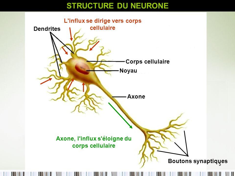 5 Corps cellulaire Noyau Axone Dendrites Boutons synaptiques L'influx se dirige vers corps cellulaire Axone, l'influx s'éloigne du corps cellulaire ST