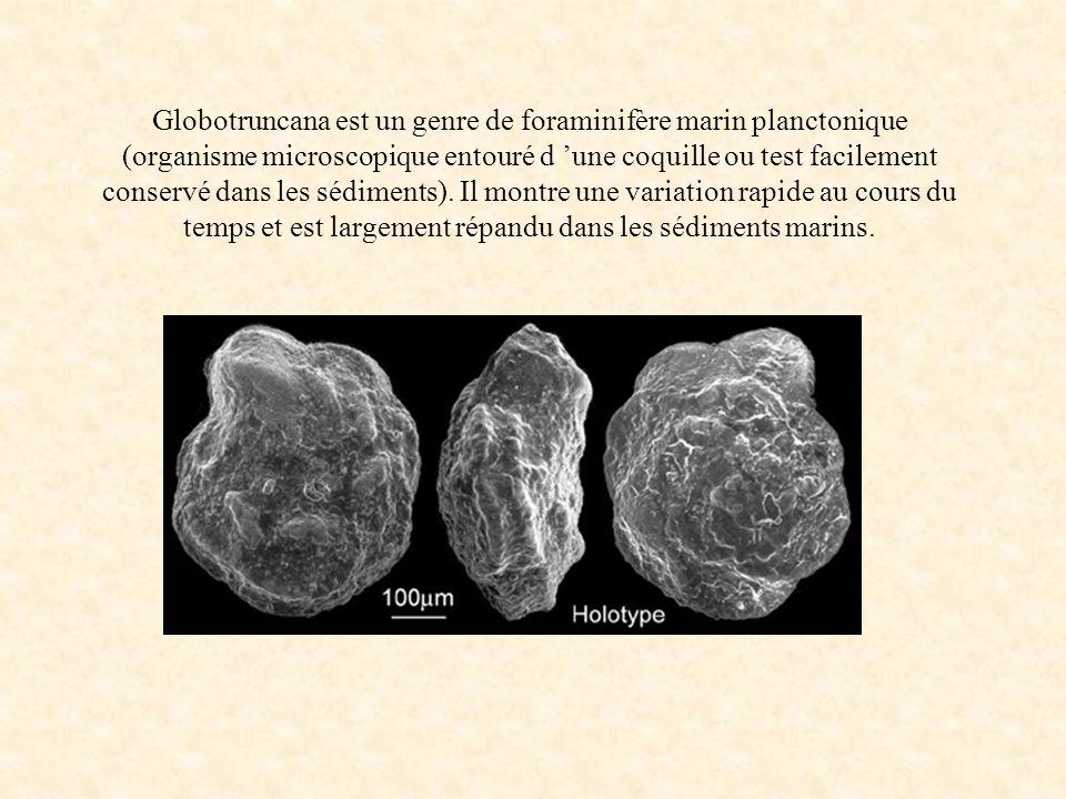 Globotruncana est un genre de foraminifère marin planctonique (organisme microscopique entouré d une coquille ou test facilement conservé dans les séd