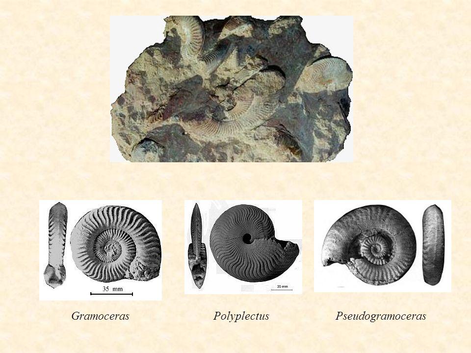 GramocerasPolyplectusPseudogramoceras