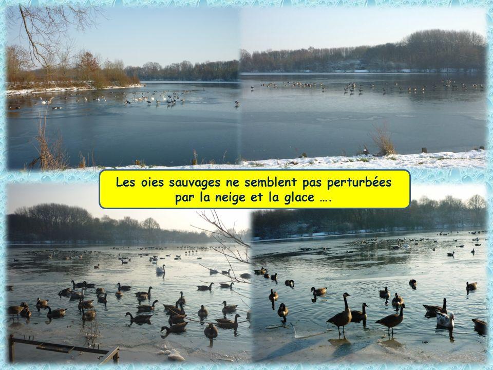 Les oies sauvages ne semblent pas perturbées par la neige et la glace ….