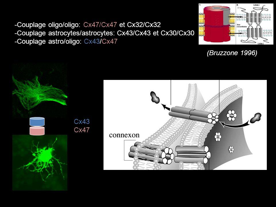 -Couplage oligo/oligo: Cx47/Cx47 et Cx32/Cx32 -Couplage astrocytes/astrocytes: Cx43/Cx43 et Cx30/Cx30 -Couplage astro/oligo: Cx43/Cx47 Cx43 Cx47 (Bruzzone 1996)