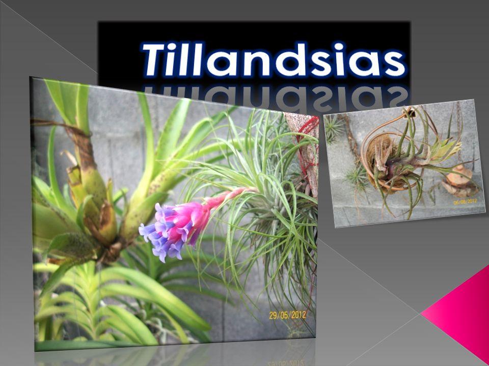 Tillandsia originaire du Brésil.