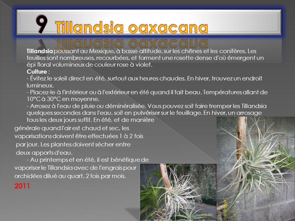 Tillandsia poussant au Mexique, à basse altitude, sur les chênes et les conifères. Les feuilles sont nombreuses, recourbées, et forment une rosette de