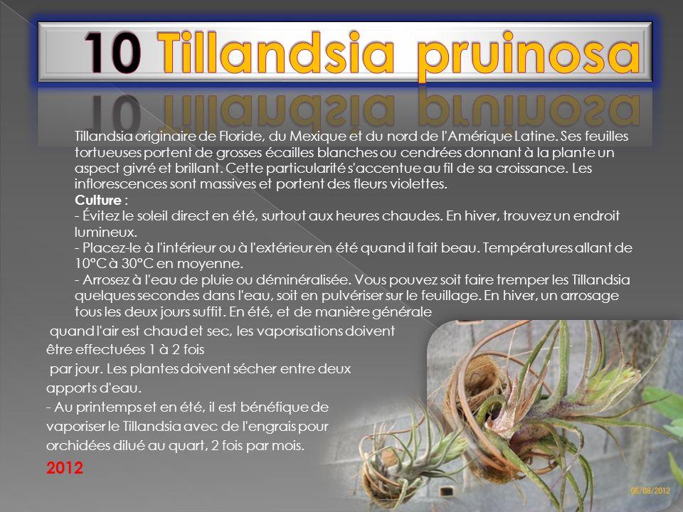 Tillandsia originaire de Floride, du Mexique et du nord de l'Amérique Latine. Ses feuilles tortueuses portent de grosses écailles blanches ou cendrées