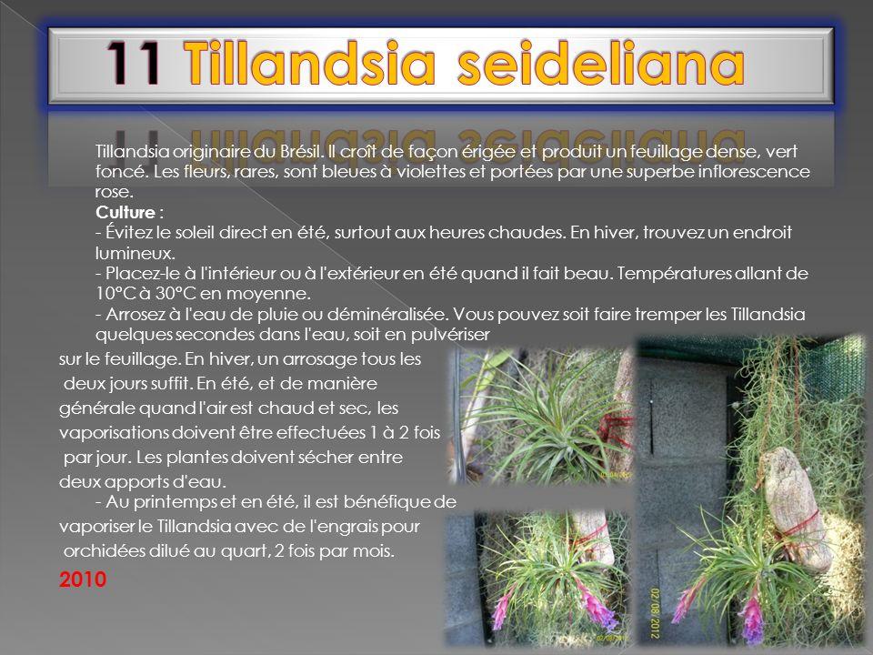 Tillandsia originaire du Brésil. Il croît de façon érigée et produit un feuillage dense, vert foncé. Les fleurs, rares, sont bleues à violettes et por