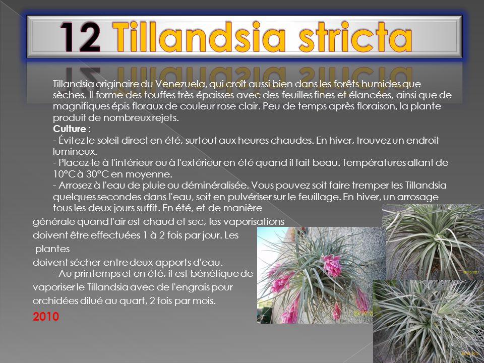 Tillandsia originaire du Venezuela, qui croît aussi bien dans les forêts humides que sèches. Il forme des touffes très épaisses avec des feuilles fine