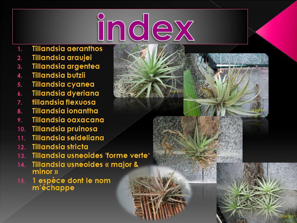 1. Tillandsia aeranthos 2. Tillandsia araujei 3. Tillandsia argentea 4. Tillandsia butzii 5. Tillandsia cyanea 6. Tillandsia dyeriana 7. tillandsia fl