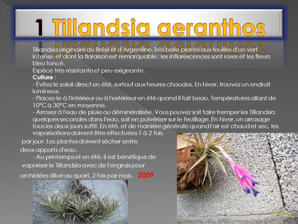 Tillandsia originaire du Brésil et d'Argentine. Très belle plante aux feuilles d'un vert intense, et dont la floraison est remarquable : les infloresc