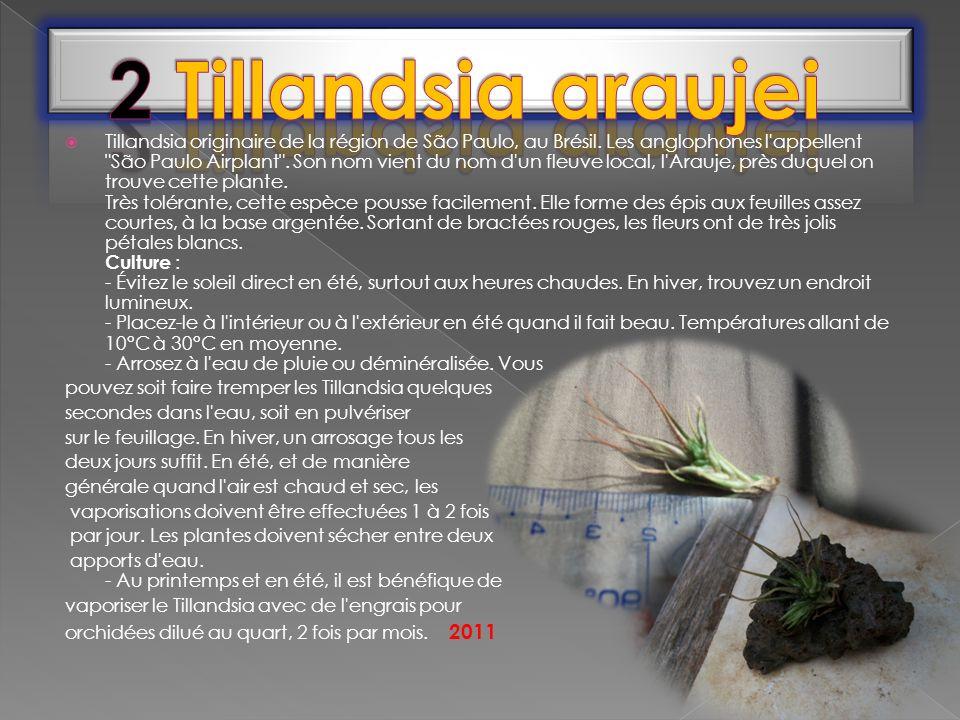 Tillandsia originaire de la région de São Paulo, au Brésil. Les anglophones l'appellent