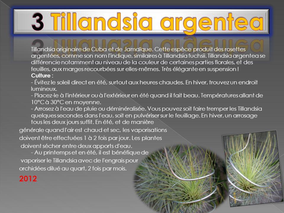Tillandsia originaire de Cuba et de Jamaïque. Cette espèce produit des rosettes argentées, comme son nom l'indique, similaires à Tillandsia fuchsii. T