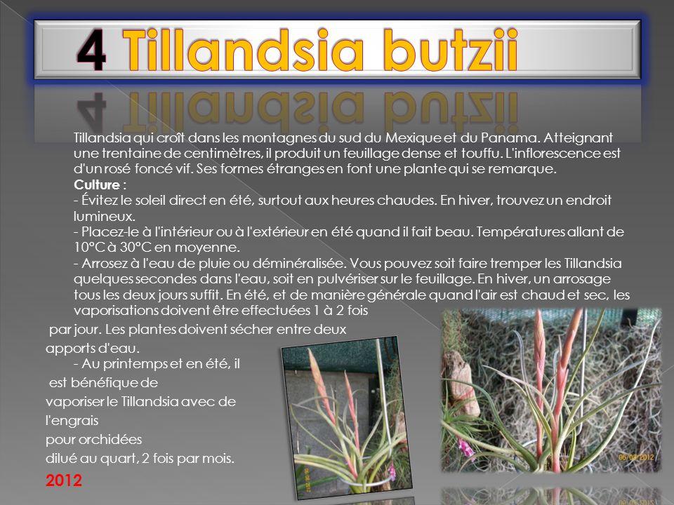 Tillandsia qui croît dans les montagnes du sud du Mexique et du Panama. Atteignant une trentaine de centimètres, il produit un feuillage dense et touf
