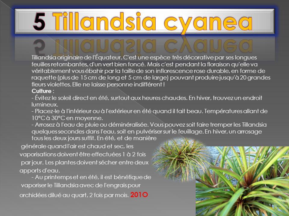 Tillandsia originaire de l'Équateur. C'est une espèce très décorative par ses longues feuilles retombantes, d'un vert bien foncé. Mais c'est pendant l