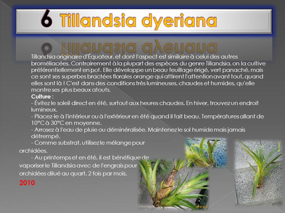 Tillandsia originaire d'Équateur, et dont l'aspect est similaire à celui des autres broméliacées. Contrairement à la plupart des espèces du genre Till