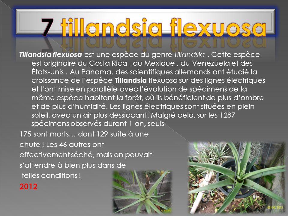 Tillandsia flexuosa est une espèce du genre Tillandsia. Cette espèce est originaire du Costa Rica, du Mexique, du Venezuela et des États-Unis. Au Pana