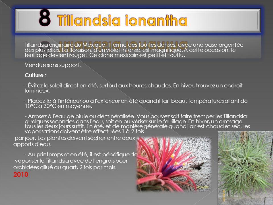 Tillandsia originaire du Mexique. Il forme des touffes denses, avec une base argentée des plus jolies. La floraison, d'un violet intense, est magnifiq