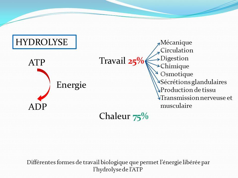HYDROLYSE ATP ADP Energie Travail 25% Chaleur 75% Mécanique Circulation Digestion Chimique Osmotique Sécrétions glandulaires Production de tissu Trans