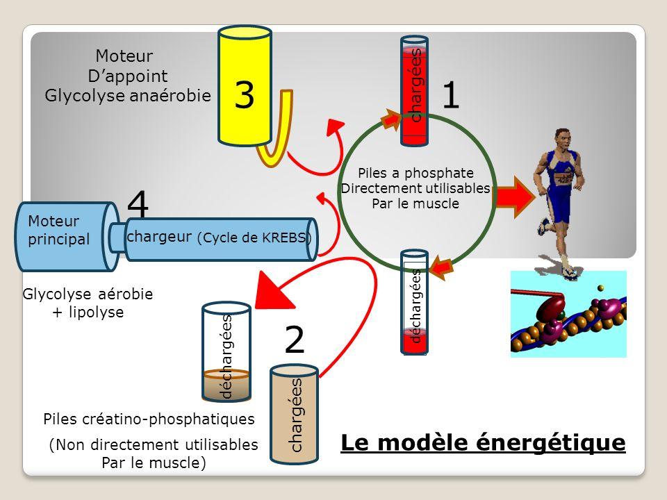 (Non directement utilisables Par le muscle) 1 2 3 4 chargées déchargées Piles créatino-phosphatiques chargées déchargées Piles a phosphate Directement