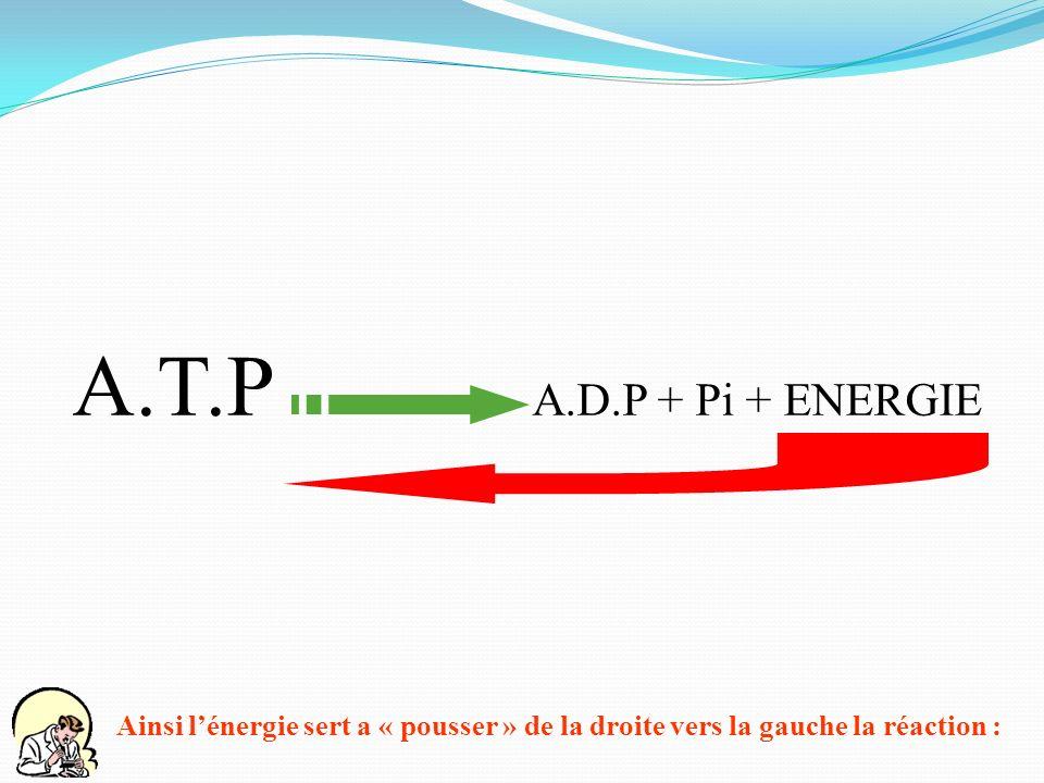 A.T.P A.D.P + Pi + ENERGIE Ainsi lénergie sert a « pousser » de la droite vers la gauche la réaction :