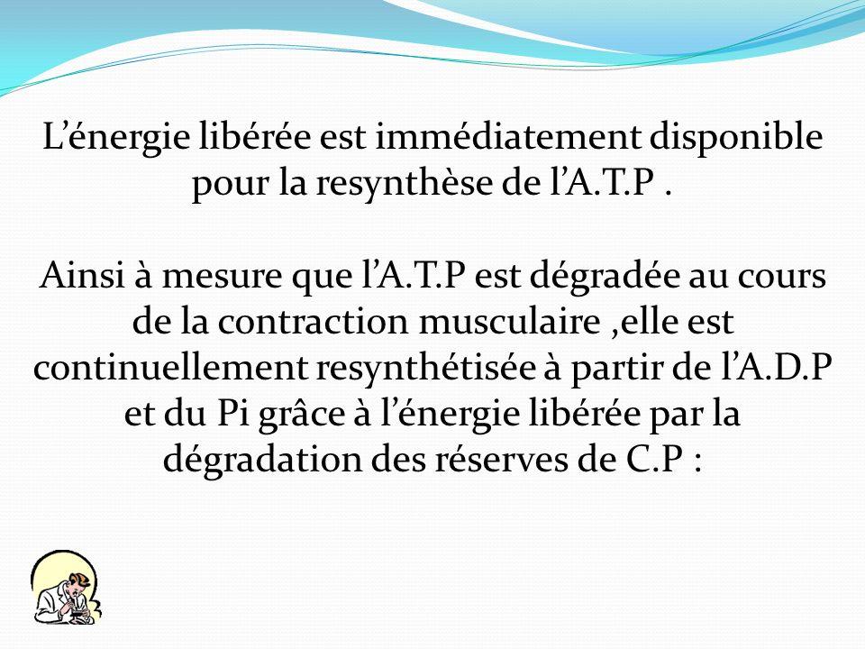 Lénergie libérée est immédiatement disponible pour la resynthèse de lA.T.P. Ainsi à mesure que lA.T.P est dégradée au cours de la contraction musculai