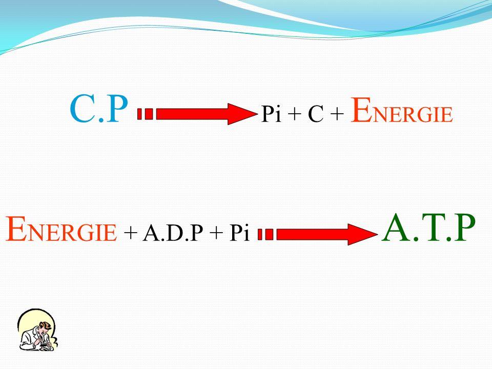 E NERGIE + A.D.P + Pi A.T.P C.P Pi + C + E NERGIE