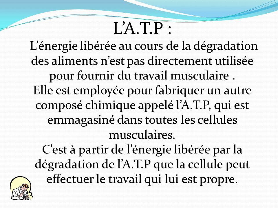 LA.T.P : Lénergie libérée au cours de la dégradation des aliments nest pas directement utilisée pour fournir du travail musculaire. Elle est employée