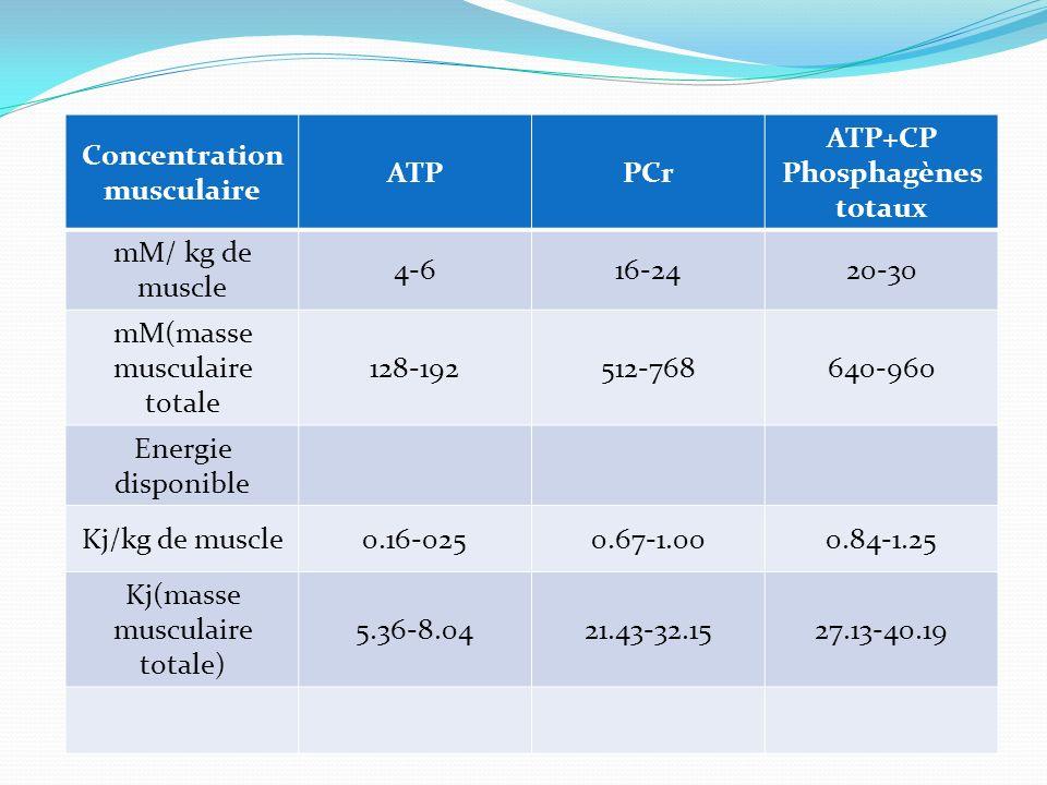 Concentration musculaire ATPPCr ATP+CP Phosphagènes totaux mM/ kg de muscle 4-616-2420-30 mM(masse musculaire totale 128-192512-768640-960 Energie dis