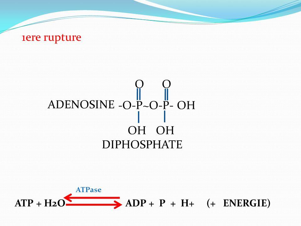 -O-P~O-P- OH OO OH ADENOSINE DIPHOSPHATE 1ere rupture ATP + H2O ADP + P + H+ (+ ENERGIE) ATPase