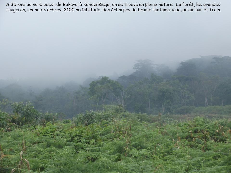 A 35 kms au nord ouest de Bukavu, à Kahuzi Biega, on se trouve en pleine nature. La forêt, les grandes fougères, les hauts arbres, 2100 m daltitude, d