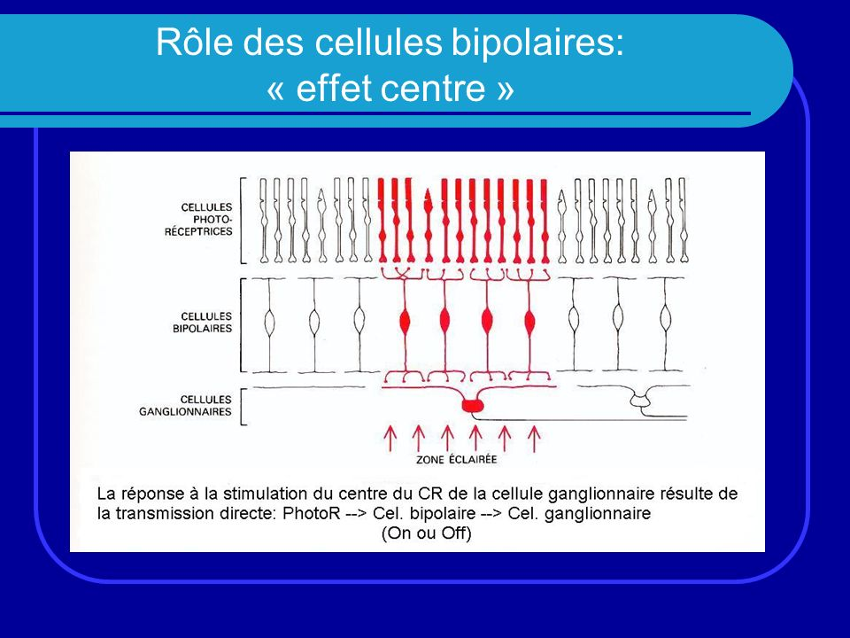 Rôle des cellules bipolaires: « effet centre »