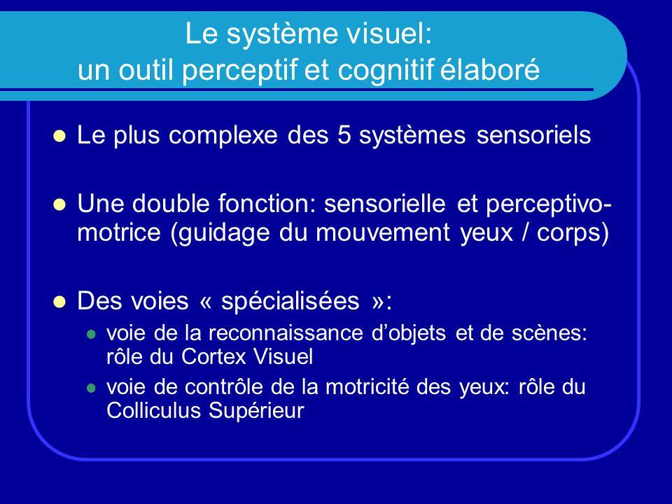 Schéma des 2 grandes voies visuelles Trajets respectifs des voies de la reconnaissance et de loculomotricité (vue inférieure du cerveau)